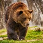 Bearstrong